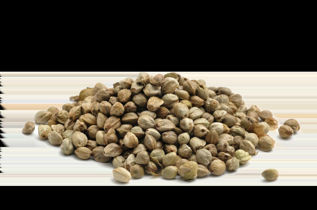semena-konopli-1 Рыболовные семена конопли